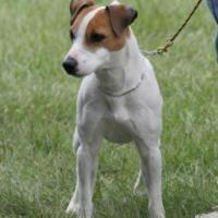 Jack Russell Terrier 200x200