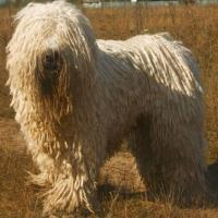 Komondor Dog 200x200