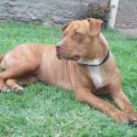 American Pit Bull Terrier 200x200