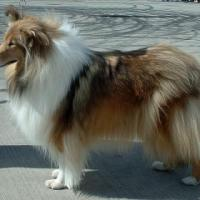 Rough Collie 200x200
