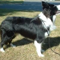 Border Collie  200x200