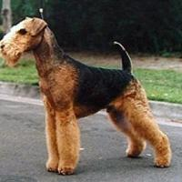 Airedale Terrier 200x200