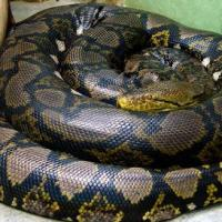 Reticulated Python 200x200